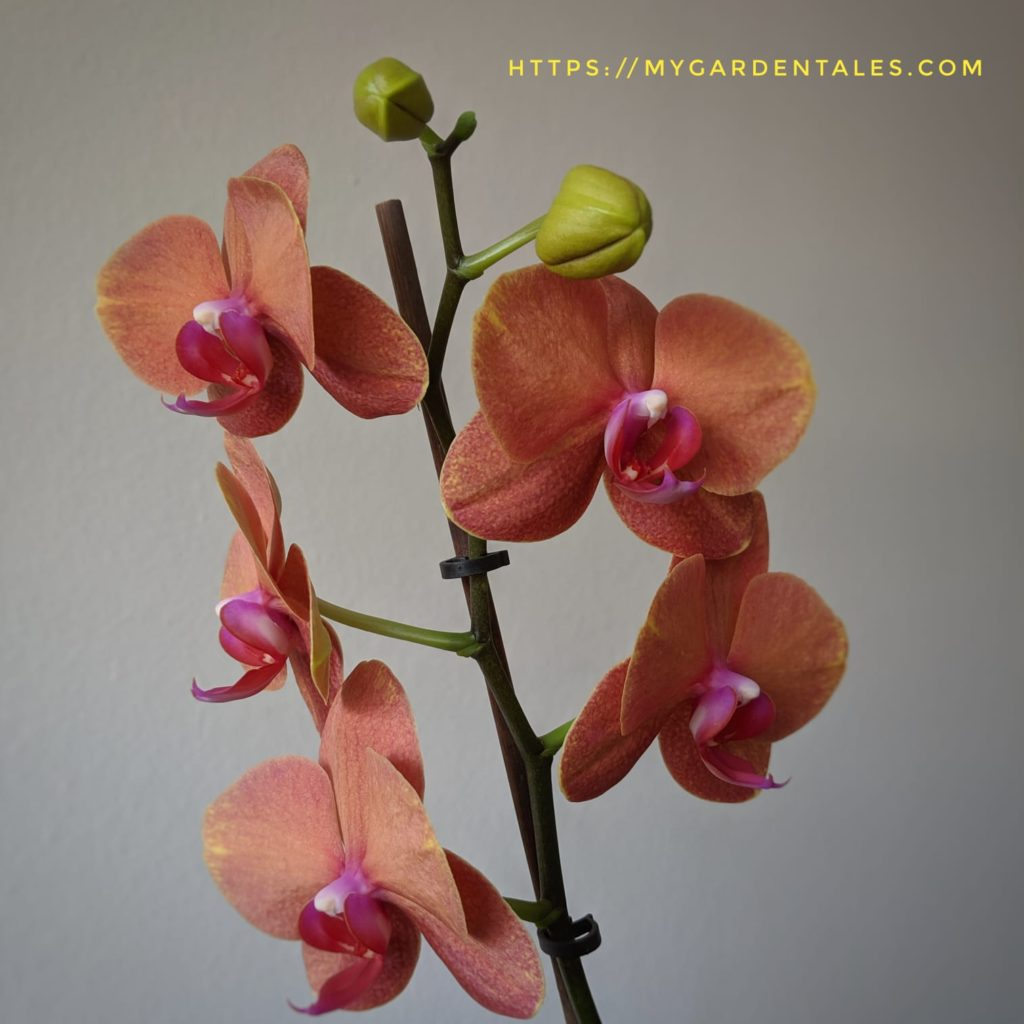 Get in 3-9 Business Days Orchid Plant Root Grow Stimulant Phalaenopsis Etc.